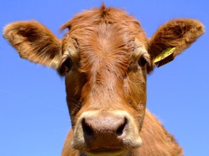 cows can have Israeli device in stomache